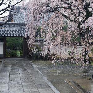 2021桜巡り 雨散り枝垂れ桜@内緒のお寺
