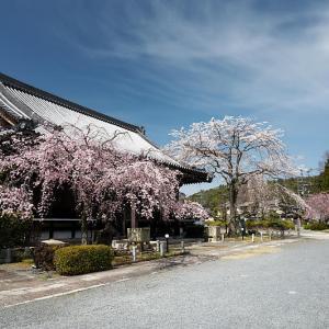 2021桜巡り 紅枝垂れ@妙満寺