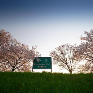 2021桜巡り 染井吉野@桂川堤防桜並木