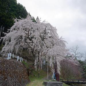 2021桜巡り 枝垂れ桜@周山魚ヶ淵の吊り橋