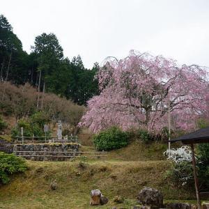 2021桜巡り 枝垂れ桜@京北 宝泉寺