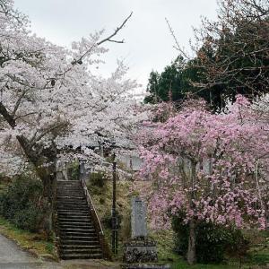 2021桜巡り 枝垂れ桜@京北 福徳寺