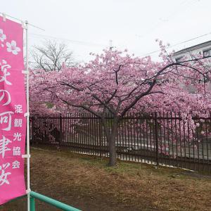 春の到来!河津桜@淀水路