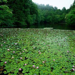 四季の花達 睡蓮@忍辱山町の溜め池