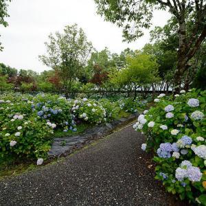 四季の花達 紫陽花@篠山 玉水百合・紫陽花園