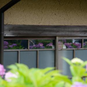 岡田の紫陽花とアマガエル