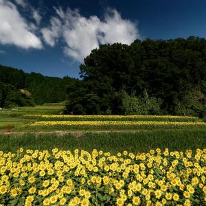 四季の花 ヒマワリ@豊能町 トヨノ部R423FLOWER ROAD  PROJECT