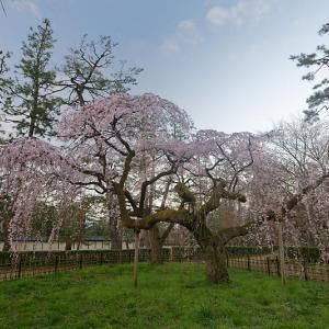 桜巡り2019@御所・近衛邸跡の糸桜