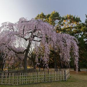桜巡り2019@御所・出水の糸桜&おまけ