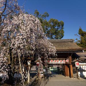 桜巡り2019@平野神社
