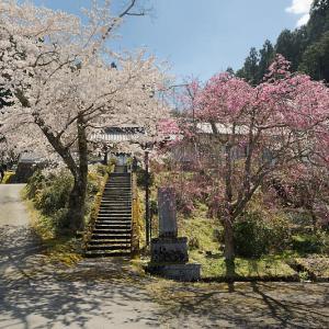 桜巡り2019@京北 福徳寺