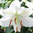 山百合の花