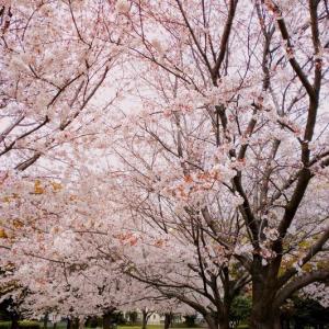 桜鑑賞♪今年も大蒲公園