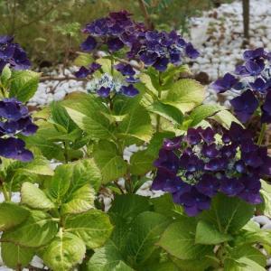 今年の紫陽花と休日ホットクック料理