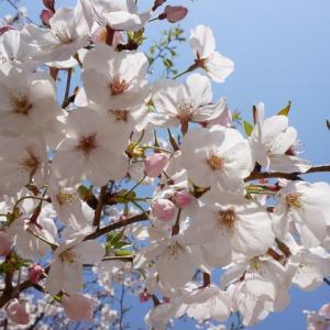 桜咲く、もう4月