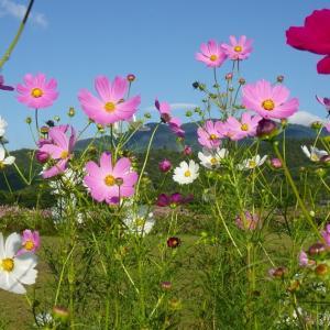【散歩日記】広沢池のコスモスがきれいです。彼岸花もまだ咲いています。気になる月曜日です。