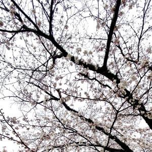 【散歩日記】広沢池の桜が咲きはじめました