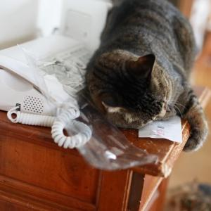 猫に魚!!「ふくねこ マグロけりけり」