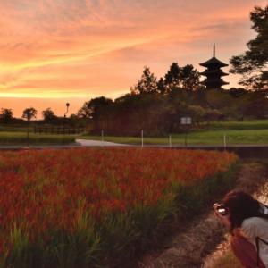備中国分寺の赤米と夕焼け