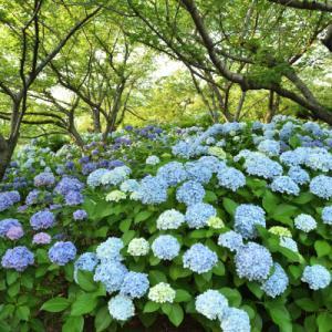 紫陽花いっぱいの種松山公園
