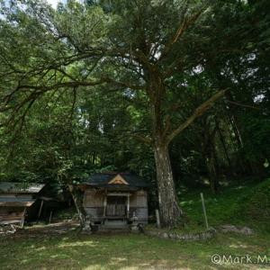 湯田天神宮の榧の木