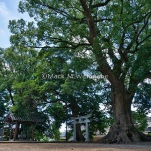 益城町の権現社(巨樹)