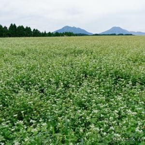 波野の蕎麦畑