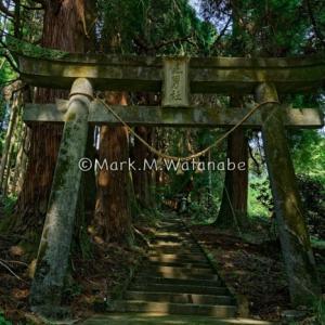 健男社-杉林の参道