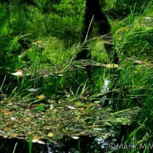 山吹水源-水草
