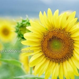 中松の向日葵