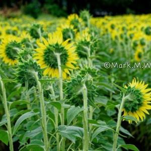 中松の向日葵-後ろ向き