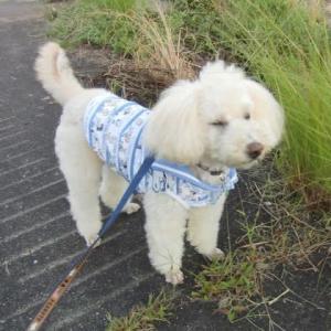 祝日ですが、出勤です。青い空に少し茜色の雲の夕方の散歩。夕食後の運動会。