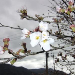そろそろサクラの花が開き始めましたよ。少し寒い朝夕の散歩。通せんぼう。キャッチ。