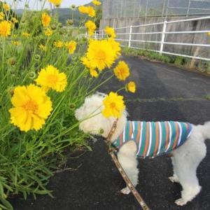 夕方の散歩。道ばたの黄色い花。竹が枯れた。小さいイトトンボ。キャッチ。