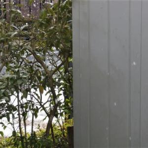 雪が降っていたので、晴れてから遅い散歩。恐ろしいスギ花粉の雄花。池のカモは少し。抱っこ。スリッパで「持ってきて」