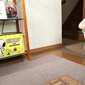 台風一過とはならず、一日雨模様。玄関に静かに出迎え。スヌーピーのおもちゃで「持ってきて」