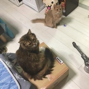 ★子猫チックなスコッチ