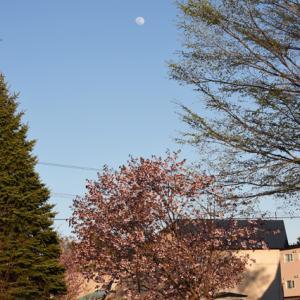 サクラ 2020 とフラワームーン Cherry Blossom & Flower Moon