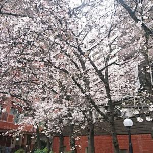 関東も グラナダも雪。アタシだって花見に行かず自粛中✨