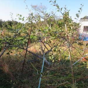 リンゴが盗まれた!・キンリョウヘンの冬仕舞いとサツマイモの保存