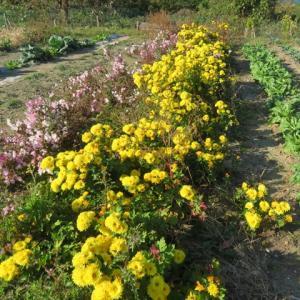 食用菊の収穫