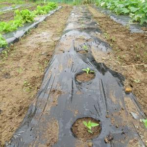 伏見トウガラシの定植とニラの追肥、畝間の除草、キツネノチャブクロ