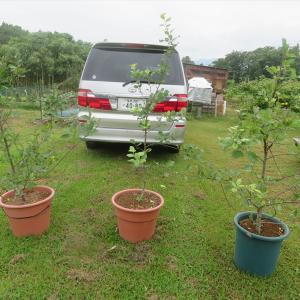 貰ったリンゴの木の移植