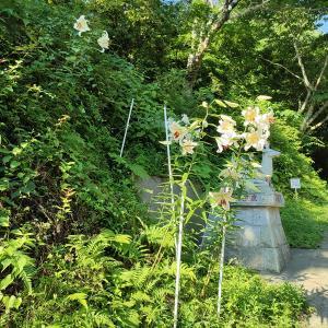 ヤマユリの花とリンゴの褐斑病・継箱