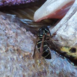 クロスズメバチとハヤトウリの浅漬け