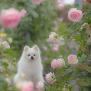 新潟県長岡市丘陵公園のバラを愛でる会