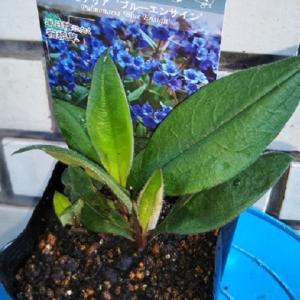 ご近所で咲いてた青い花、貴女のことが知りたくて・・・その2