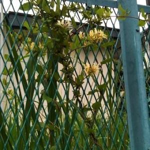 """""""スイカズラ(忍冬)""""の魅惑的な花と香りに誘われて・・・"""