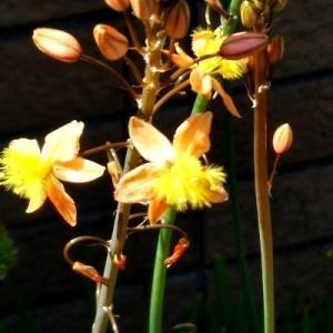 """オーニソがラムみたいな花は """"ハナアロエ""""って名前だとわかりました!"""
