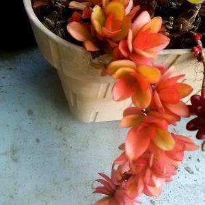我が家の多肉植物 : 紅葉美しき3種